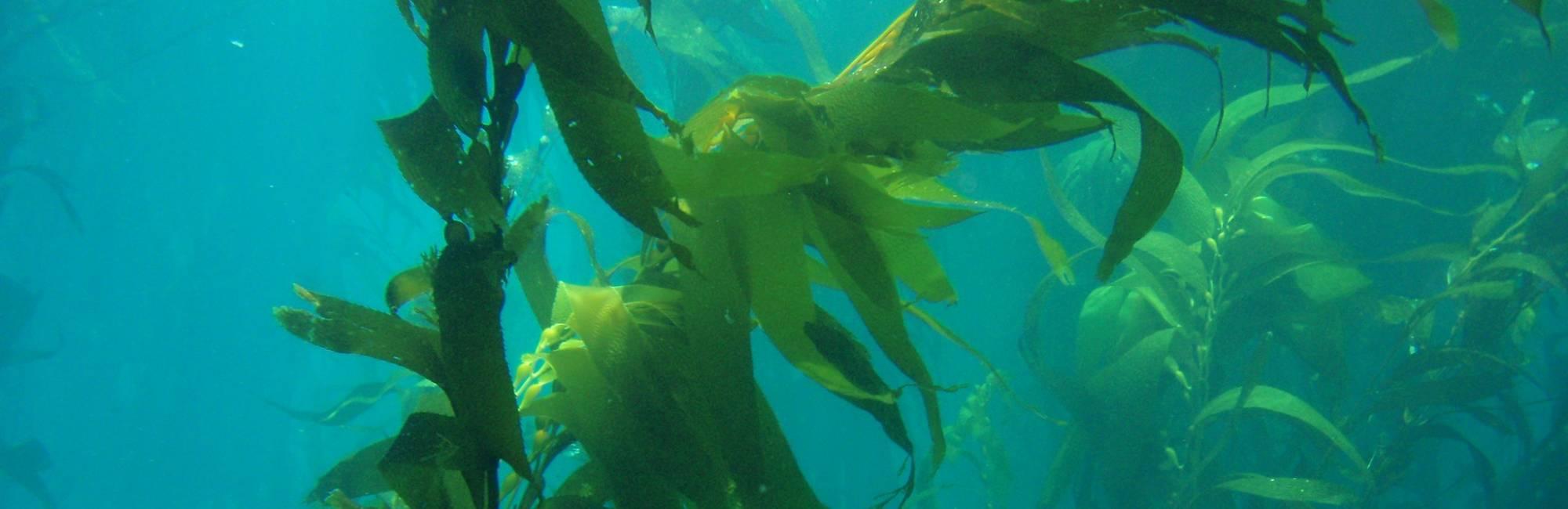 Green sea kelp in water