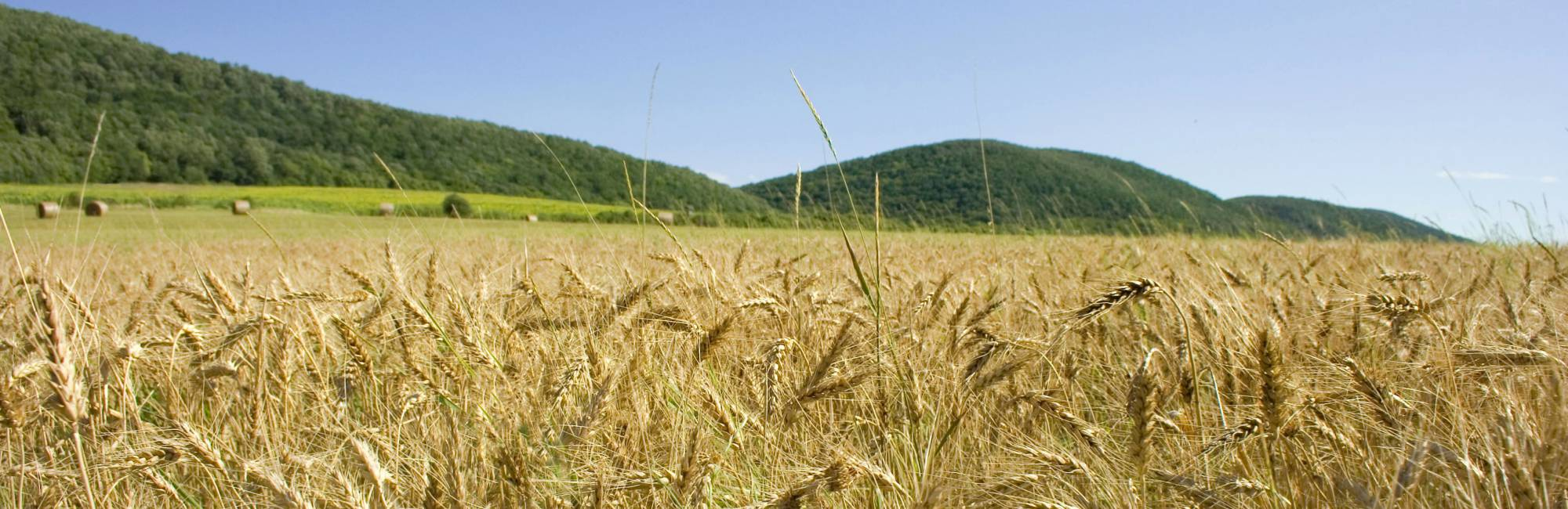 Wheat field in Hungary