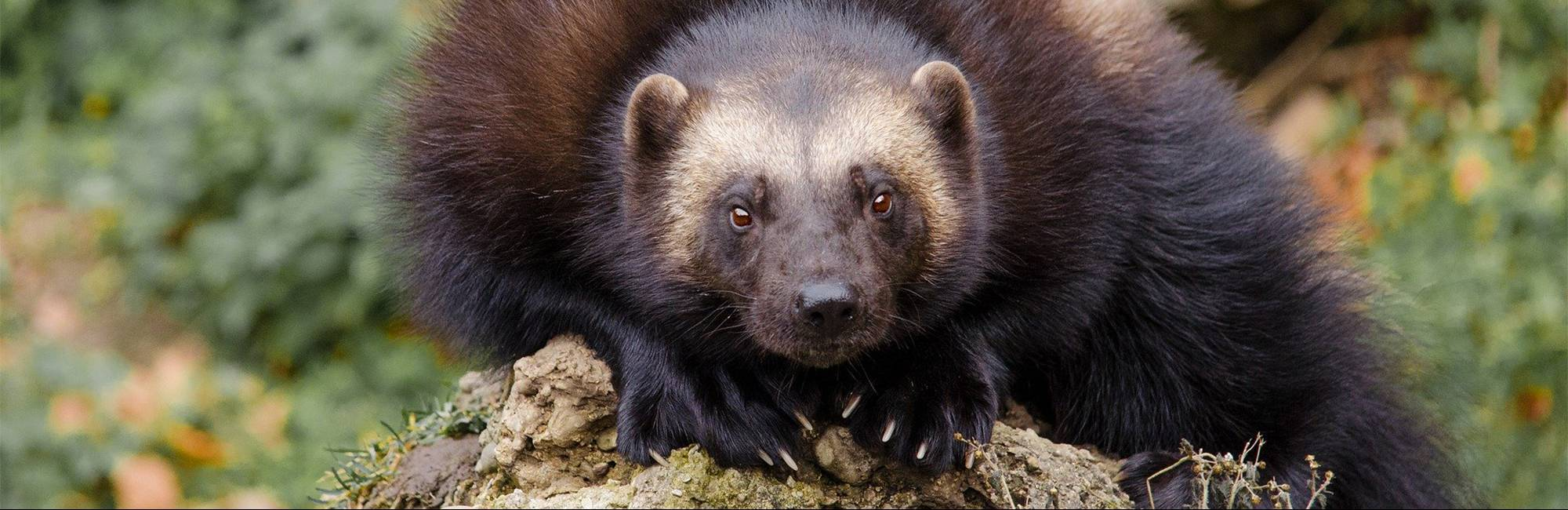 photo of a wolverine facing the camera