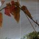 Begonia in house window