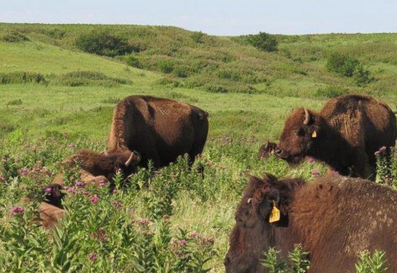 Bison in Prairie 2