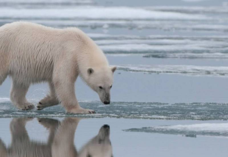 polar bear walking on melting arctic ice