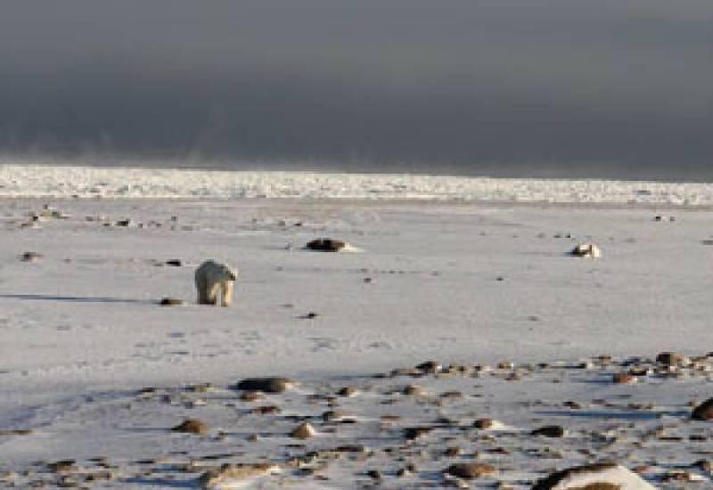 Jennifer Kay Group a polar bear in the snow